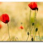 Cánh Hoa Poppy M549