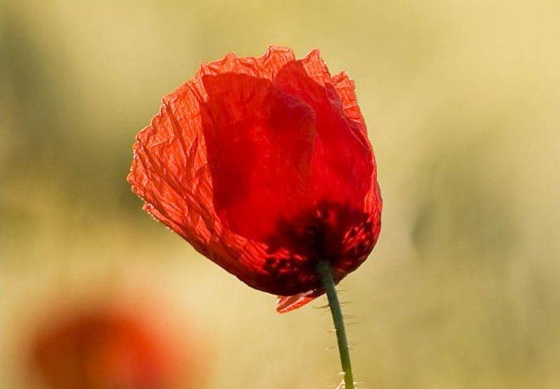 canh hoa poppy m549-2