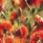 canh hoa poppy m580-2