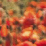 canh hoa poppy m580-3