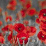 nhung canh hoa poppy m575-2