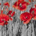 nhung canh hoa poppy m575-3