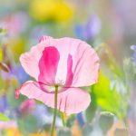 poppy khoe sac m521-2