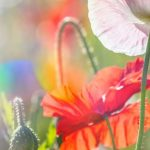 poppy khoe sac m521-3