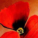 hoa poppy m2209-2