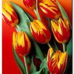Tulip Khoe Sắc M1243