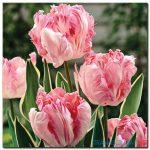Tulip Khoe Sắc M1306