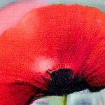 hoa poppy m2363-2