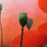 hoa poppy m2364-2