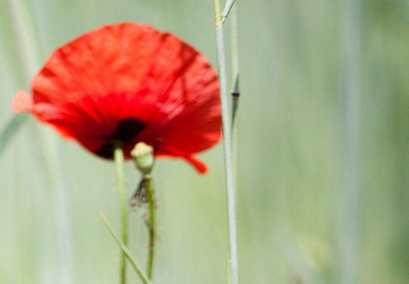 hoa poppy m2381-2