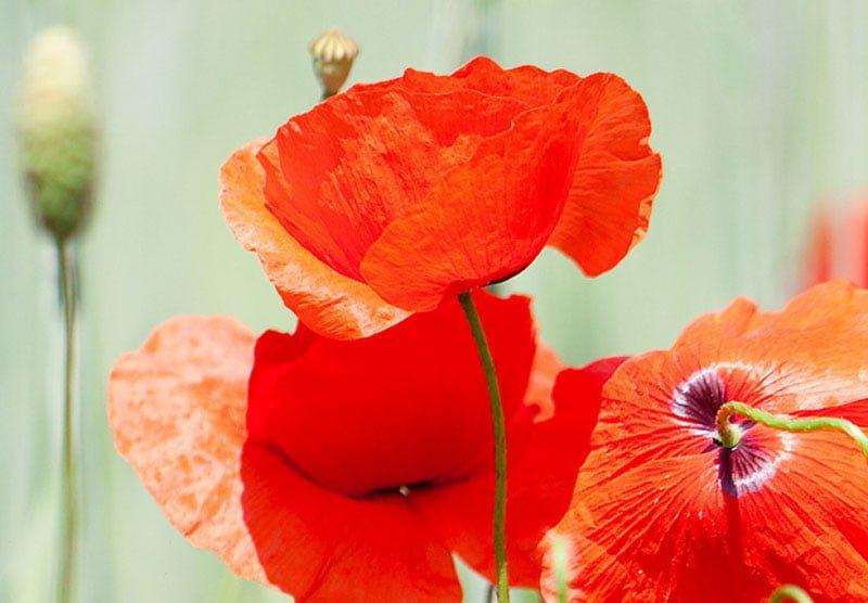 hoa poppy m2381-3