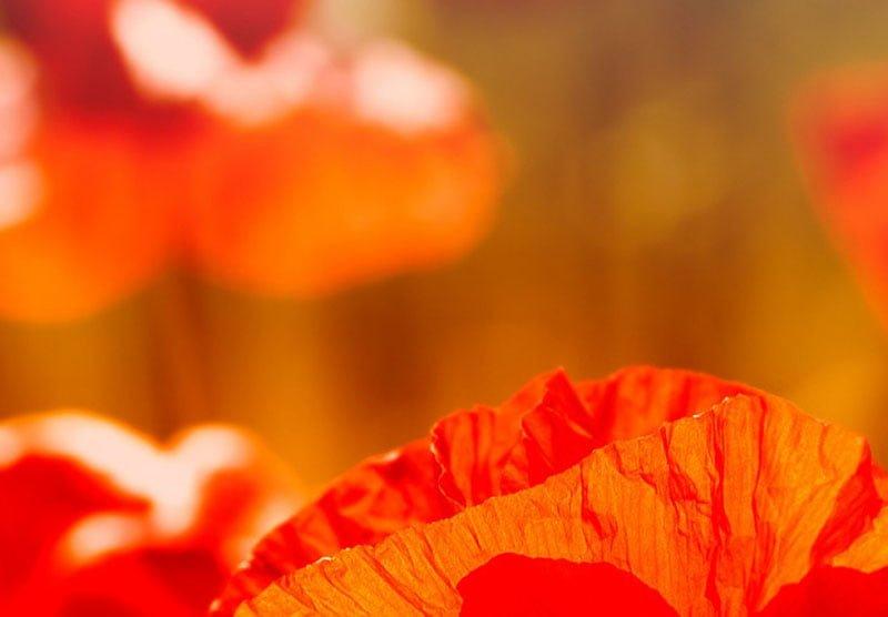 hoa poppy m2382-3