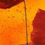 hoa poppy m2385-3
