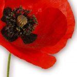 hoa poppy m2387-3
