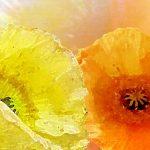 hoa poppy m2390-2