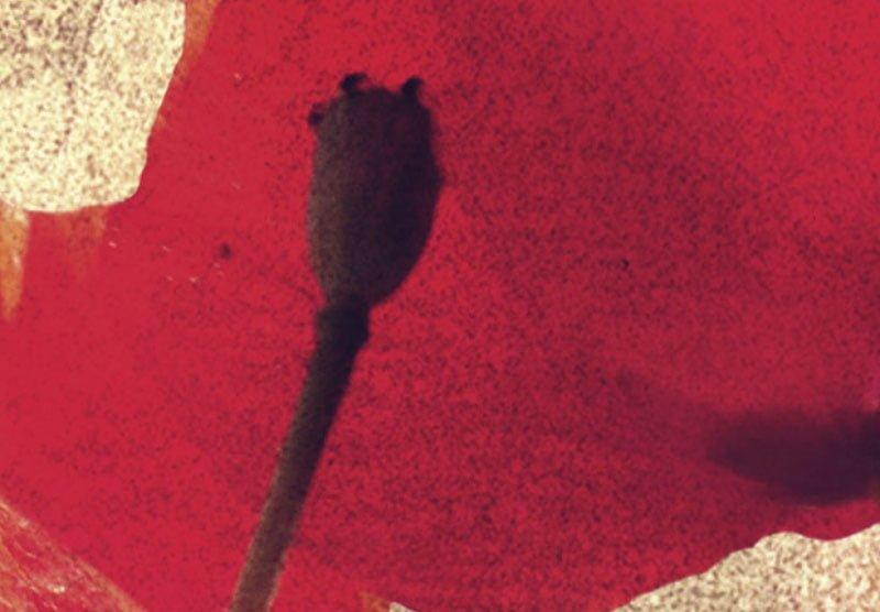 hoa poppy m2391-3