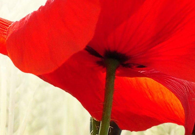 hoa poppy m2392-2