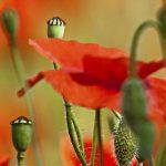 hoa poppy m2393-3